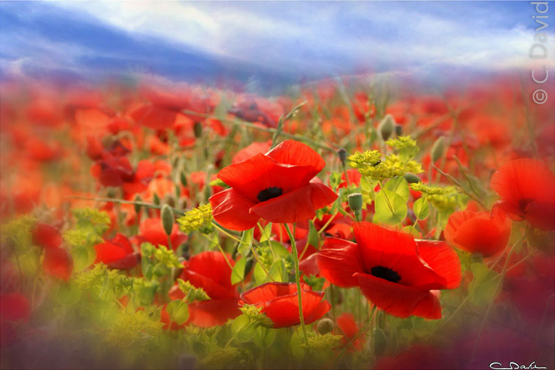 Coquelicots dans un champ en Provence/Photo Claude David