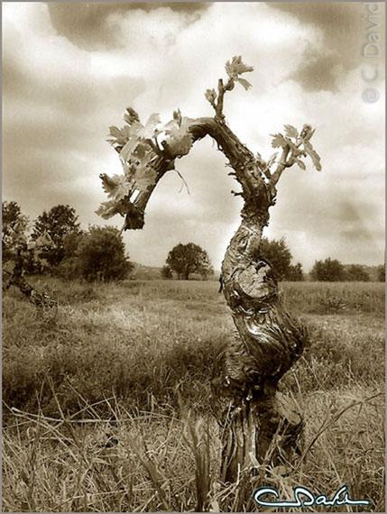 Pied de vigne photo claude david - Acheter pied de vigne ...